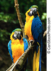 Parrot, Blue-and-yellow Macaw, sitting on a branch
