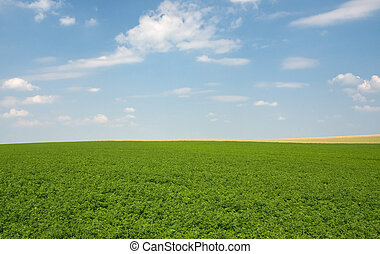green lucerne field blue sky - green lucerne field under...