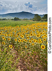 field of sunflower with mountain background - field of...