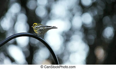songbird in the garden - a yellow and black bird on a...
