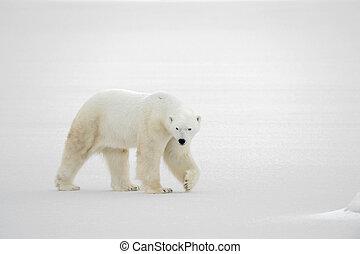 The goingon snow - A polar bear going on snow