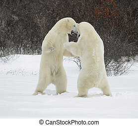 Fighting polar bears - Polar bears fighting on snow have got...