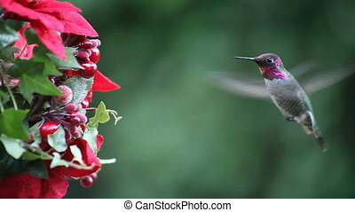 hummingbird at a Christmas feeder - ruby-throated...