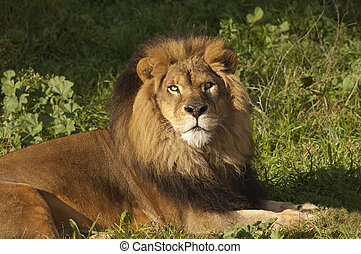 lion looking at the camera - Male Lion (panthera Leo)...