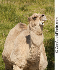 camel - humorus looking camel chewing on something