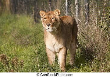 lioness stalking - Lioness stalking prey with a concentrated...