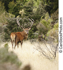 Red deer in New Zealand - 14 point Red Deer stag in New...