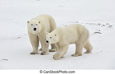 Two polar bears. Two polar bears go on snow-covered tundra.