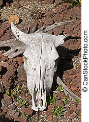 Sun bleached cow skull on ground