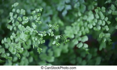 maidenhair fern on a cloudy day - delicate fern in a slight...