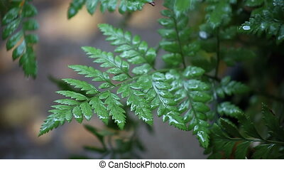 fern with raindrops - close up view of fern fronds in the...
