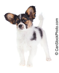 Puppy Papillon on a white background