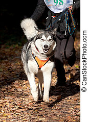 Alaskan Malamute - Sports with a dog Canikross Alaskan...