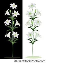White lilies on a black and white background