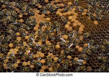 Bees - Many bees working on honeycombs full of brood