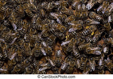 Bees - Many bees working on honeycombs full of honey