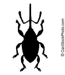 Weevil (Curculio nucum)