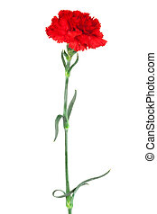 carnation close-up - red carnation close-up on a white...