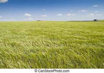 Barley crop - Barley swaying in the wind
