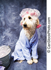 Bathtime Puppy II - Puppy standing in her bathrobe and hair...
