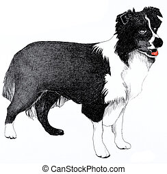 Collie dog illustration isolated on a white background