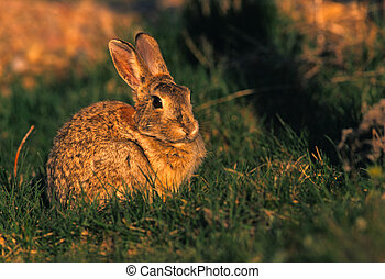 Cottontail Rabbit - a cottontail rabbit in grass field