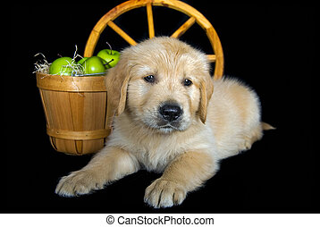 Golden Pup - Golden retriever puppy with green apples.