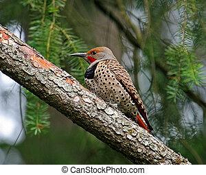 Northern Flicker Woodpecker - Northern Flicker Woodpecker...