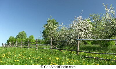 Apple blossom spring time - Countryside landscape....