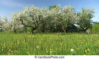 Blossom apple tree - Countryside landscape. Apple-tree...