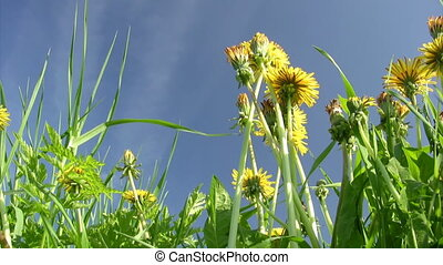 Dandelions close-up on blue sky background