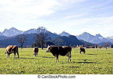 feliz, Alemán, vacas, verde, pasto o césped