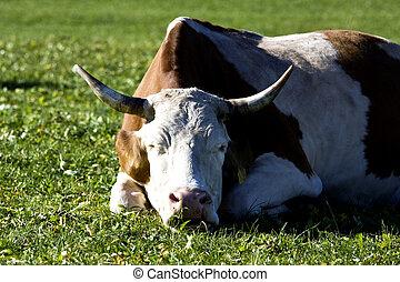 Alemán, campo,  gras, vaca