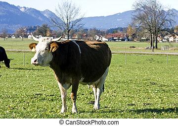 Alemán, pasto o césped, verde, vaca, feliz