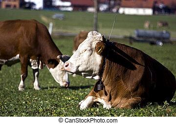 Alemán, vacas, pasto o césped, verde, feliz