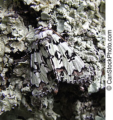 Camouflage - The master of camouflage and rare moth Scarce...