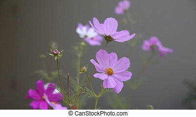 cosmos flowers on a cloudy day - cosmos against a gray-green...