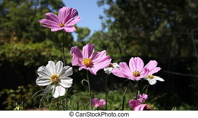cosmos flowers in summer - pink and white cosmos in a garden