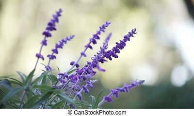Mexican sage flowers - flower stalks of Mexican sage