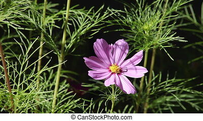 single pink cosmos flower - a cosmos flower surrounded by...