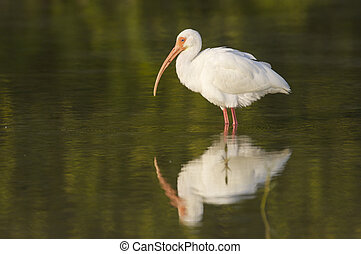 White Ibis, Eudocimus albus, in shallow green water with...