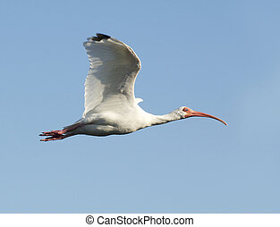 White Ibis, Eudocimus albus, in flight with blue sky...