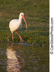White Ibis, Eudocimus albus, walking in green grass near...