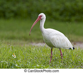 White Ibis, Eudocimus albus, walking in green grass