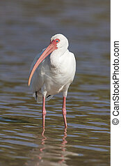 White Ibis, Eudocimus albus, in shallow blue water with...