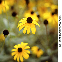 Brown-eyed susan - Macro of a brown-eyed susan (Rudbeckia...