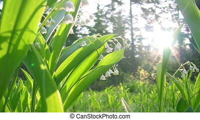 Lilly of the valley shot close up
