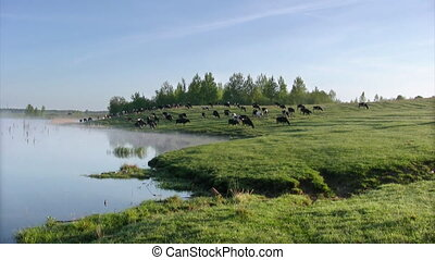 Cow summer landscape