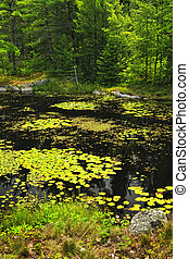 Lily pads on lake - Lily pads and water lilies on lake...