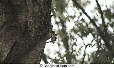 woodpecker in oak tree - a hungry woodpecker looks for food...